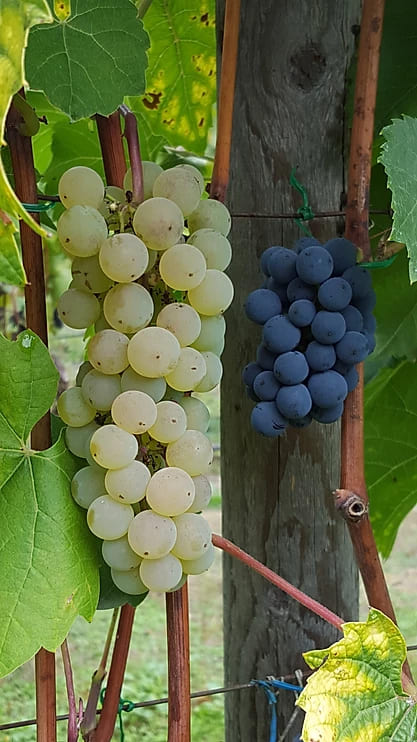 Beautiful grapes!